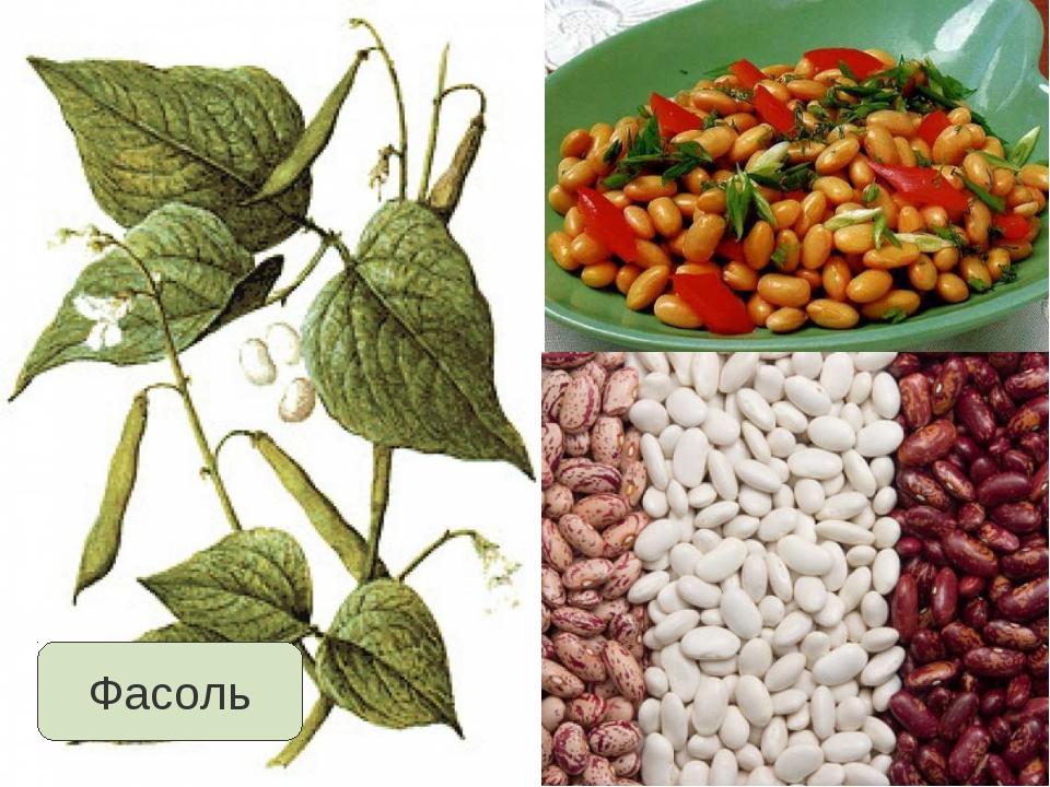 Черные бобы: что это такое, какова их польза, а также как производить выращивание русской овощной культуры?