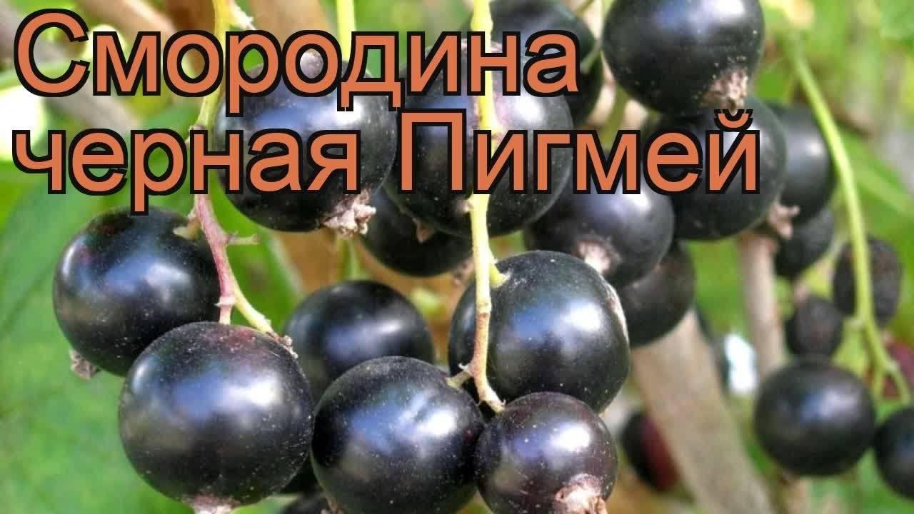 Смородина черная пигмей: описание сорта, фото, отзывы садоводов