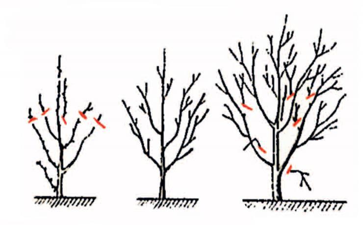 Уход за вишней летом, осенью и весной после сбора урожая: обрезка и полив