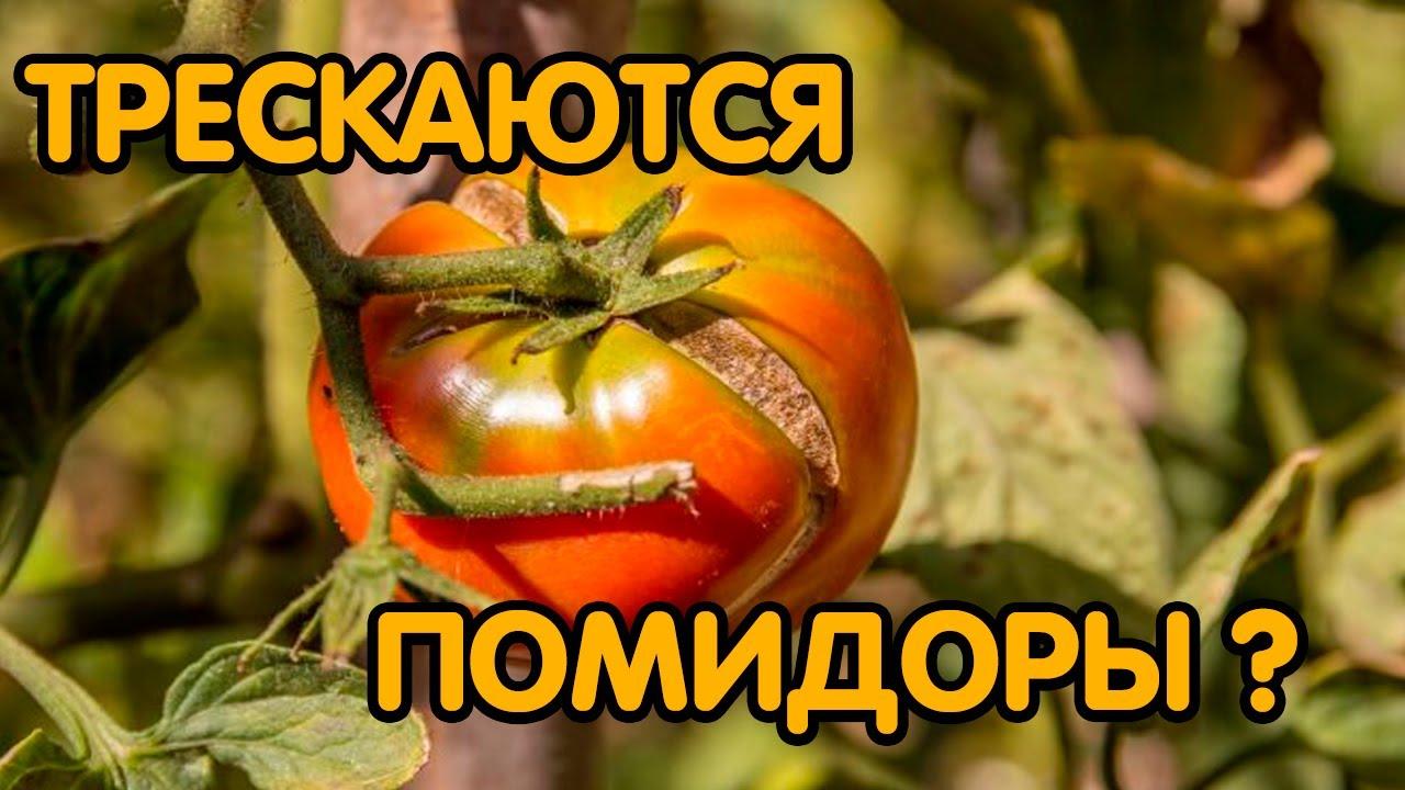 Почему помидоры трескаются на кусте в теплице