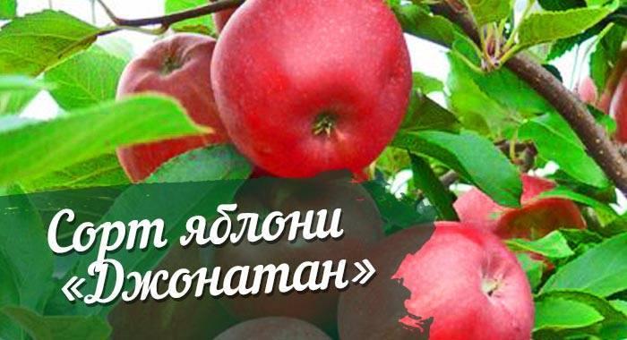 Описание сорта яблони солнцедар: фото яблок, важные характеристики, урожайность с дерева
