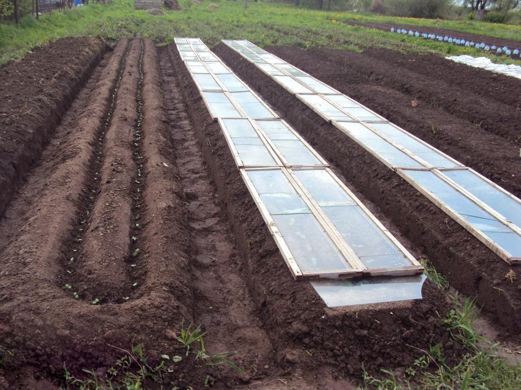 8 правил посадки огурцов под пленку семенами и рассадой