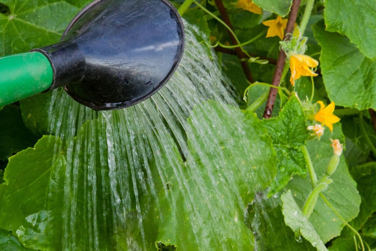 Обработка огурцов зеленкой: как поливать и опрыскивать
