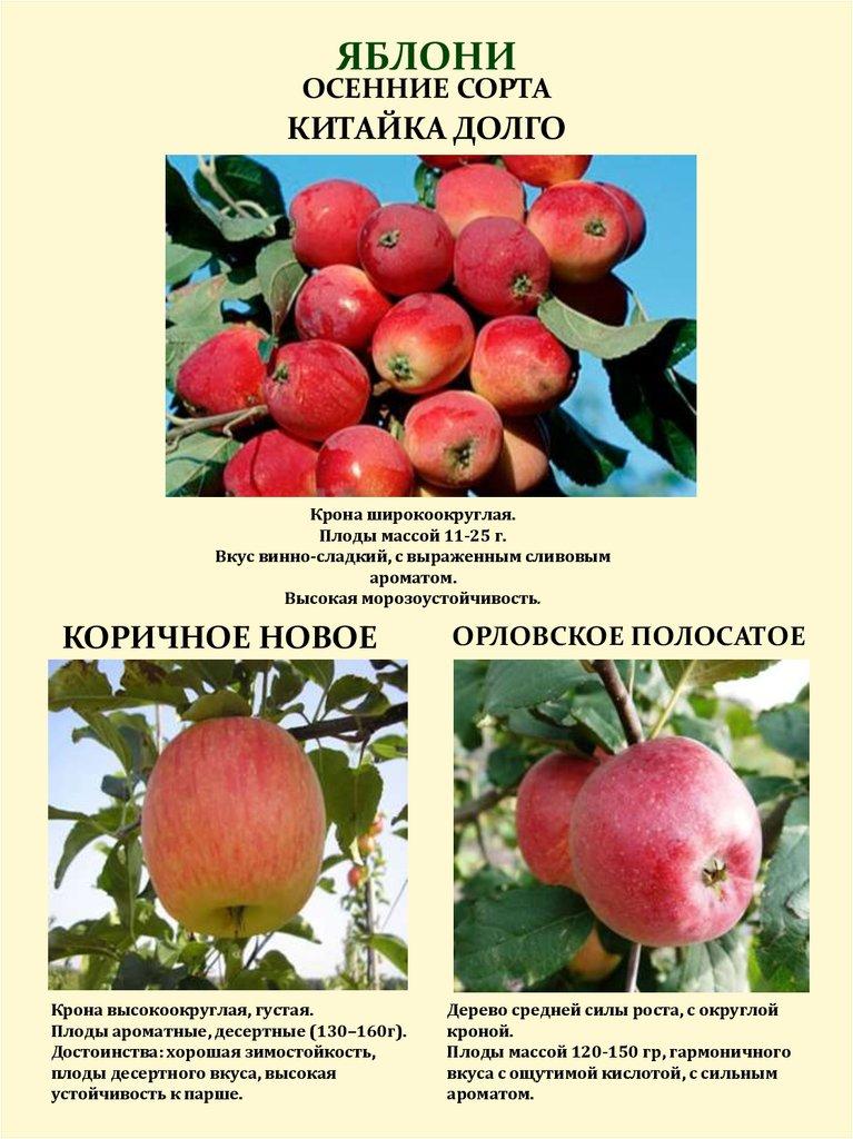 Яблоня лето красное: отзывы садоводов, фото и описание сорта