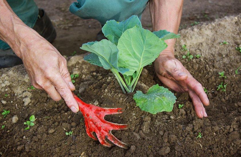 Чем подкормить капусту после высадки в открытый грунт народные средства видео