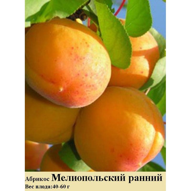 Описание абрикоса сорта мелитопольский и технология выращивания