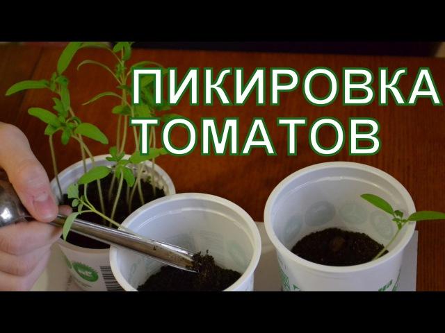 Как вырастить рассаду томатов дома: секрет успешной рассады