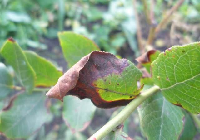 ᐉ почему вянут листья у кротона и что делать ᐉ причины увядания кротона и их устранение: болезни, вредители, полив