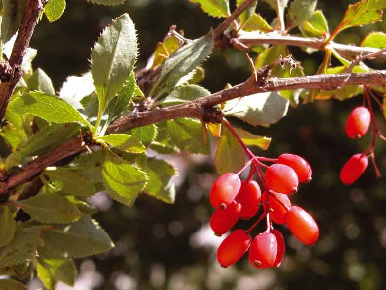 Барбарис – польза и вред растения и его плодов для организма. применение в кулинирии и народной медицине