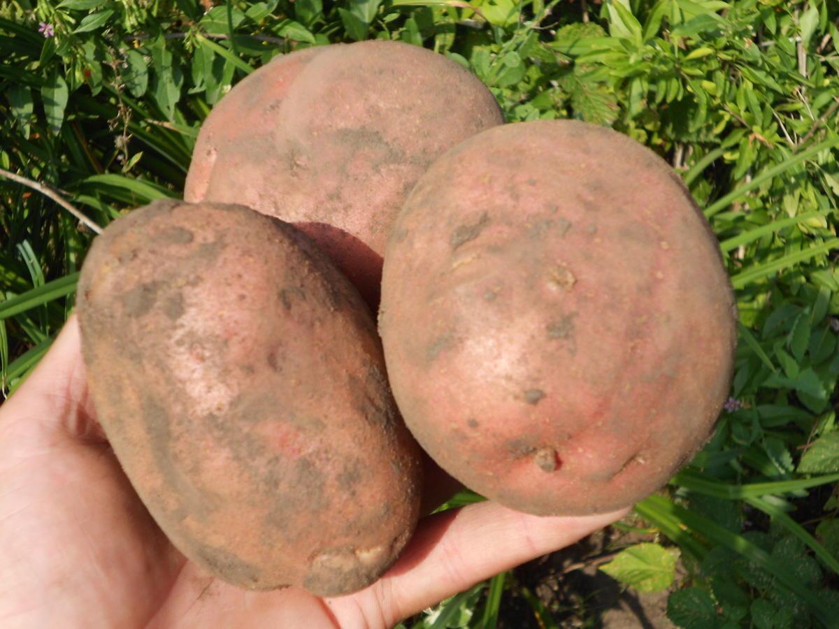 """Сорт картофеля """"луговской"""": характеристика и описание овоща, фото внешнего вида, особенности посадки, выращивания и сбора урожая"""