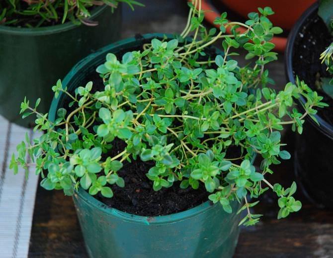 Чабрец (тимьян): выращивание в подмосковье из семян, посадка, уход, как сажать в открытый грунт