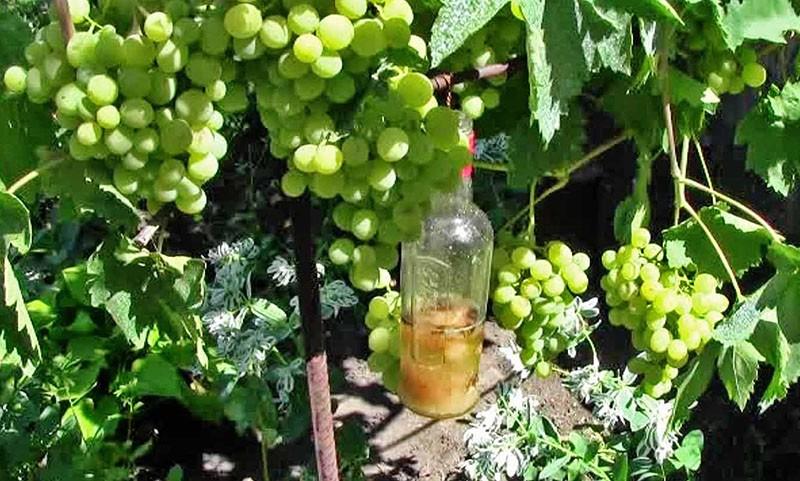 Обработка винограда в мае 2019 - подробное описание самых опасных вредителей и угроз с фотографиями больных растений, наиболее эффективные способы защиты винограда от них | теплотехники