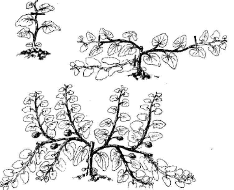 Как формировать арбузы в открытом грунте: правила прищипывания