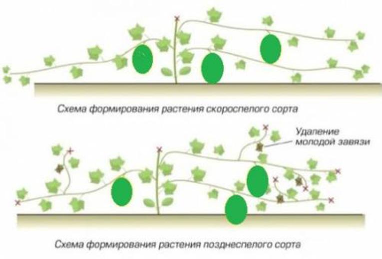 Как правильно и зачем формировать арбузы в открытом грунте