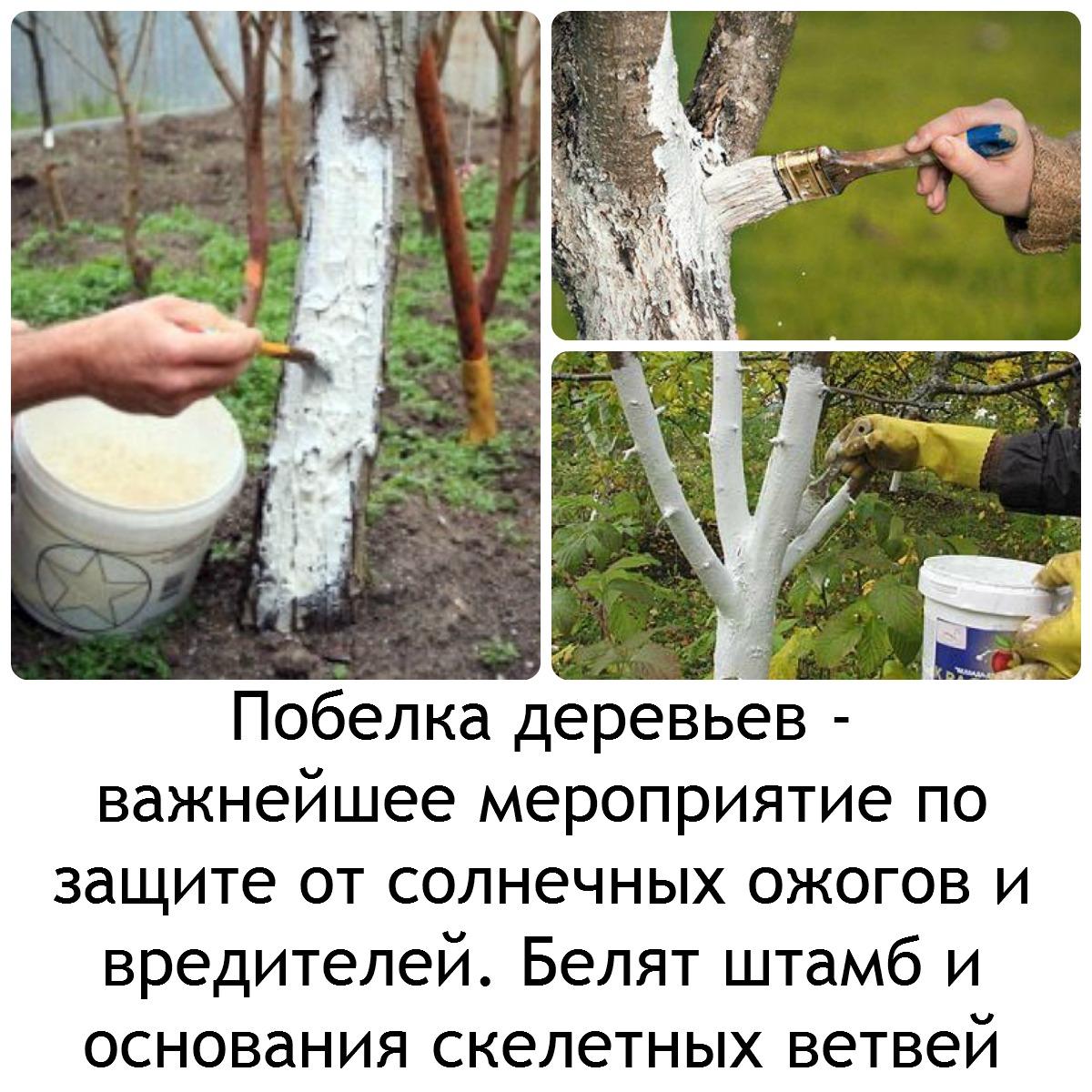 Побелка плодовых деревьев осенью: состав смесей и технология работы