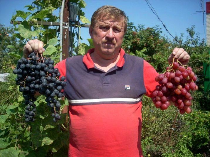 Виноград рубиновый юбилей: описание сорта, фото, уход и выращивание