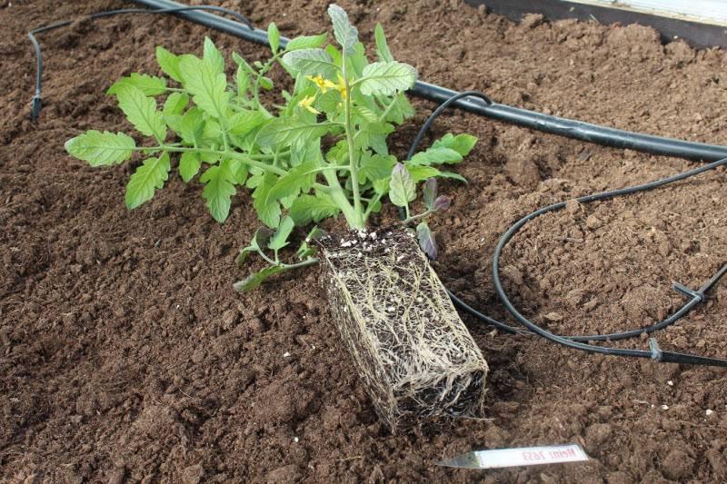 Выращивание помидоров черри в теплице: уход и пасынкование, фото и видео
