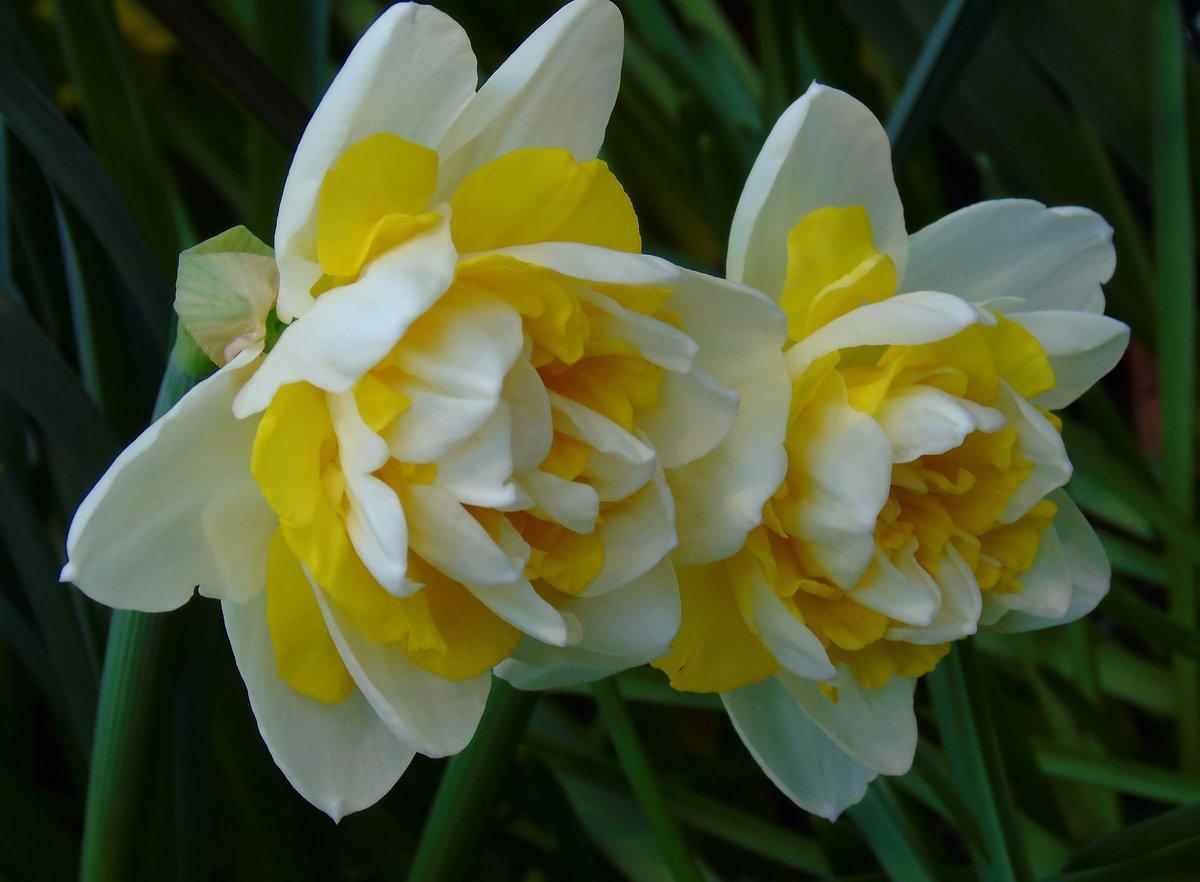 Нарциссы (60 фото): сорта, посадка и уход, удобрение и болезни, сочетание с другими растениями