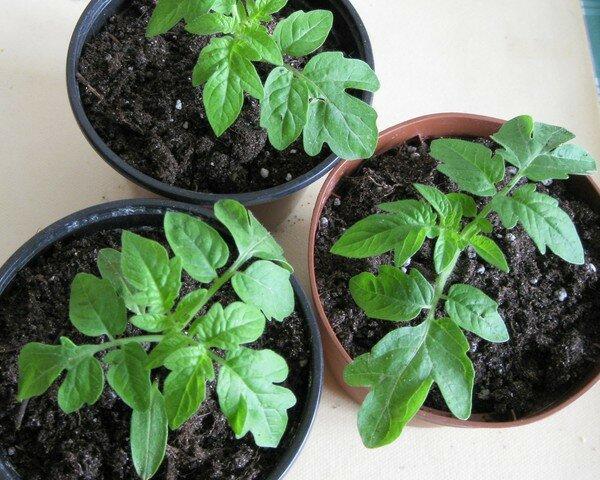 Как вырастить рассаду помидор без пикировки в домашних условиях  