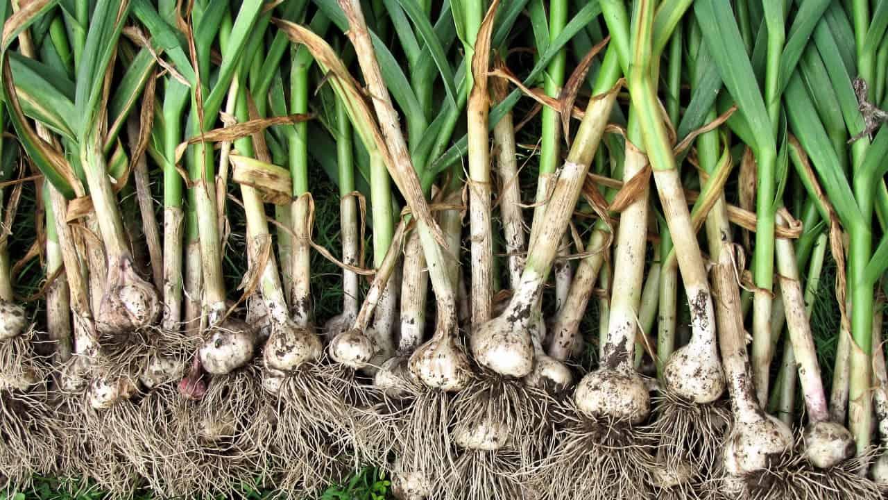 Как вырастить хороший урожай: размножение чеснока семенами