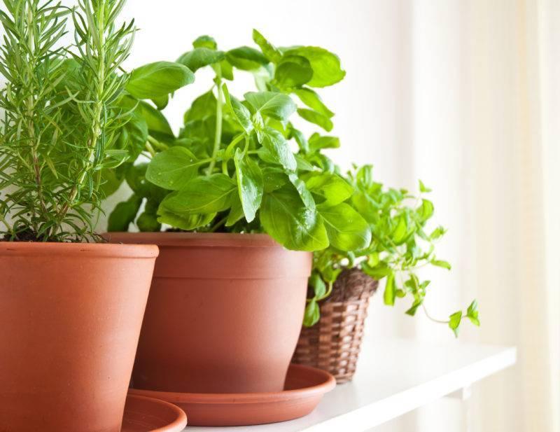 Как вырастить мяту дома на подоконнике в горшке – уход для начинающих