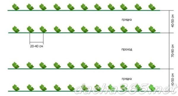 Как правильно сажать капусту в открытом грунте рассадой, расстояние, сроки и температура