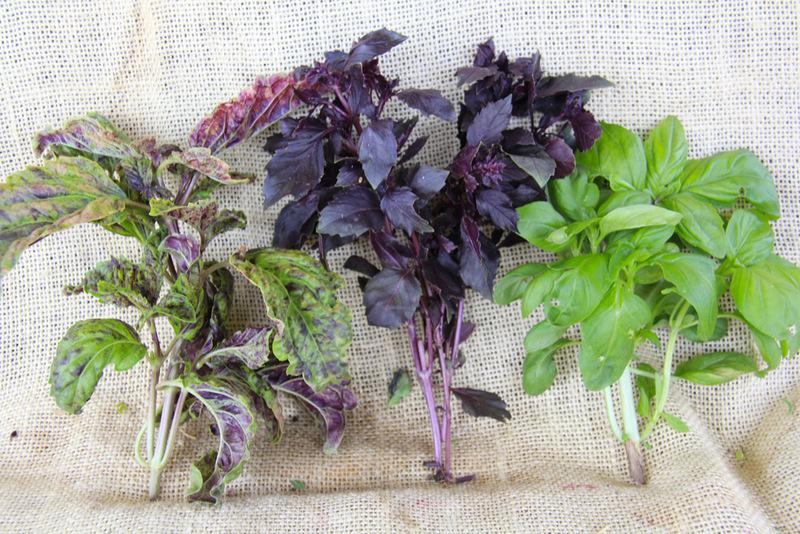 Трава базилик: фото, сорта, полезные свойства, применение в кулинарии