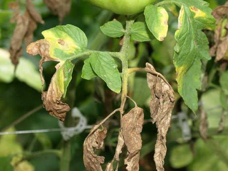 Почему почернела ботва картофеля: возможные причины и решения