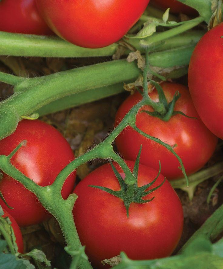 Помидоры для настоящих гурманов — сорт томата «клубничный десерт»: самое полное описание и характеристики вида