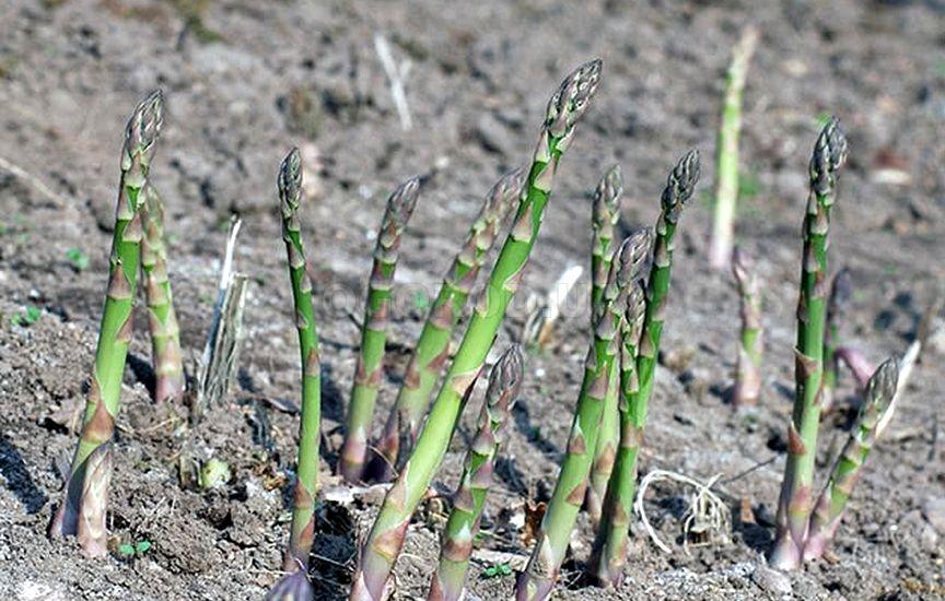 Пошаговая инструкция выращивания спаржи аржентельской из семян в домашних условиях. советы и фото
