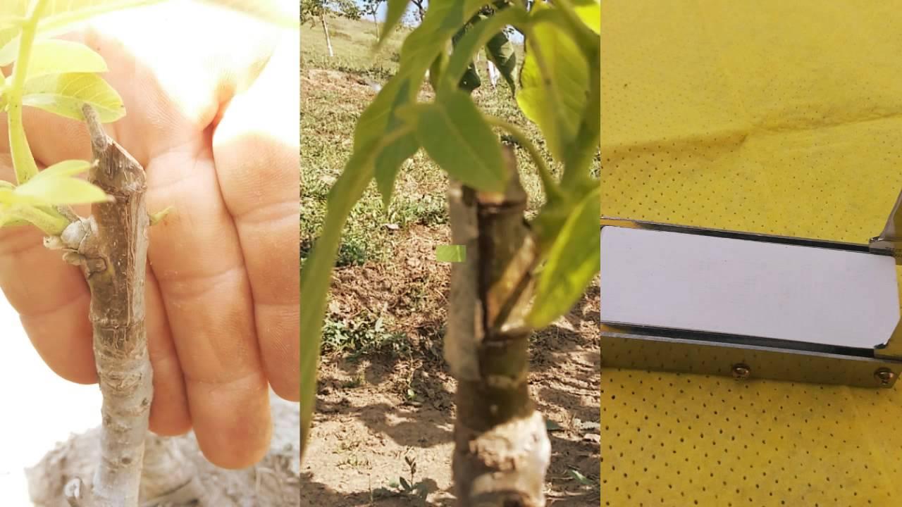 Прививка грецкого ореха летом