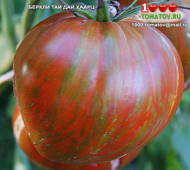 Томат беркли тай дай: описание сорта, выращивание, уход, фото - про сорта