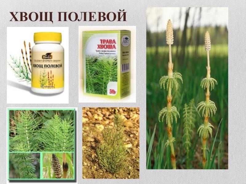 Борьба с сорняком хвощ полевой? как избавиться
