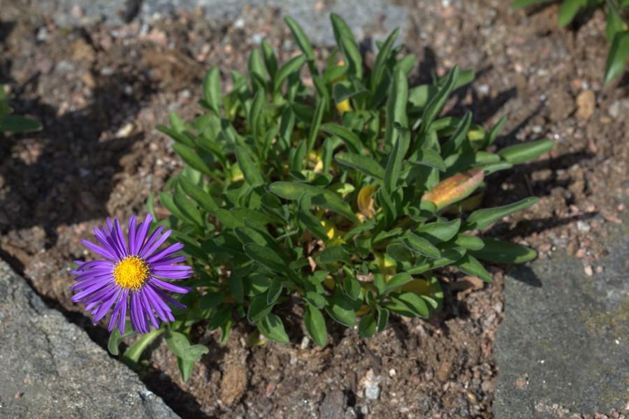 Альпийская астра: посадка, уходы, способы размножения