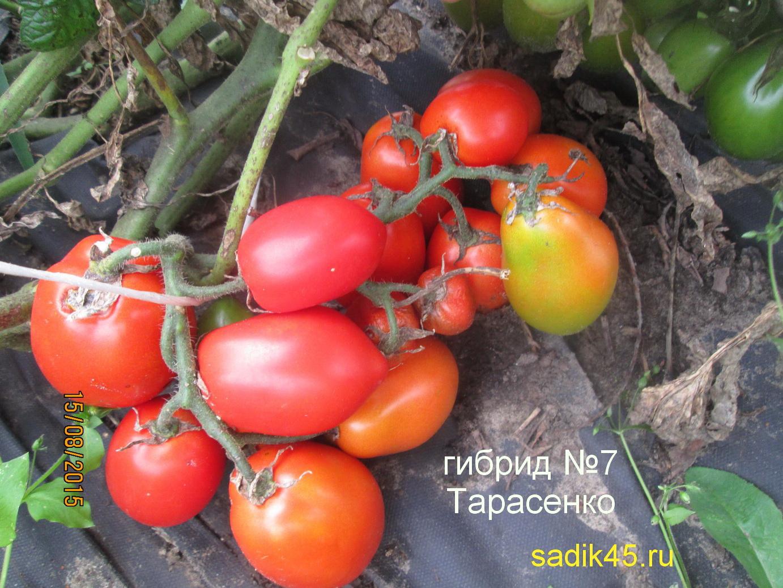 Томат легенда — описание сорта, отзывы, урожайность