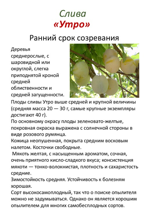 Слива утро: отзывы, фото, опылители, описание сорта, посадка и уход, выращивание плодового дерева