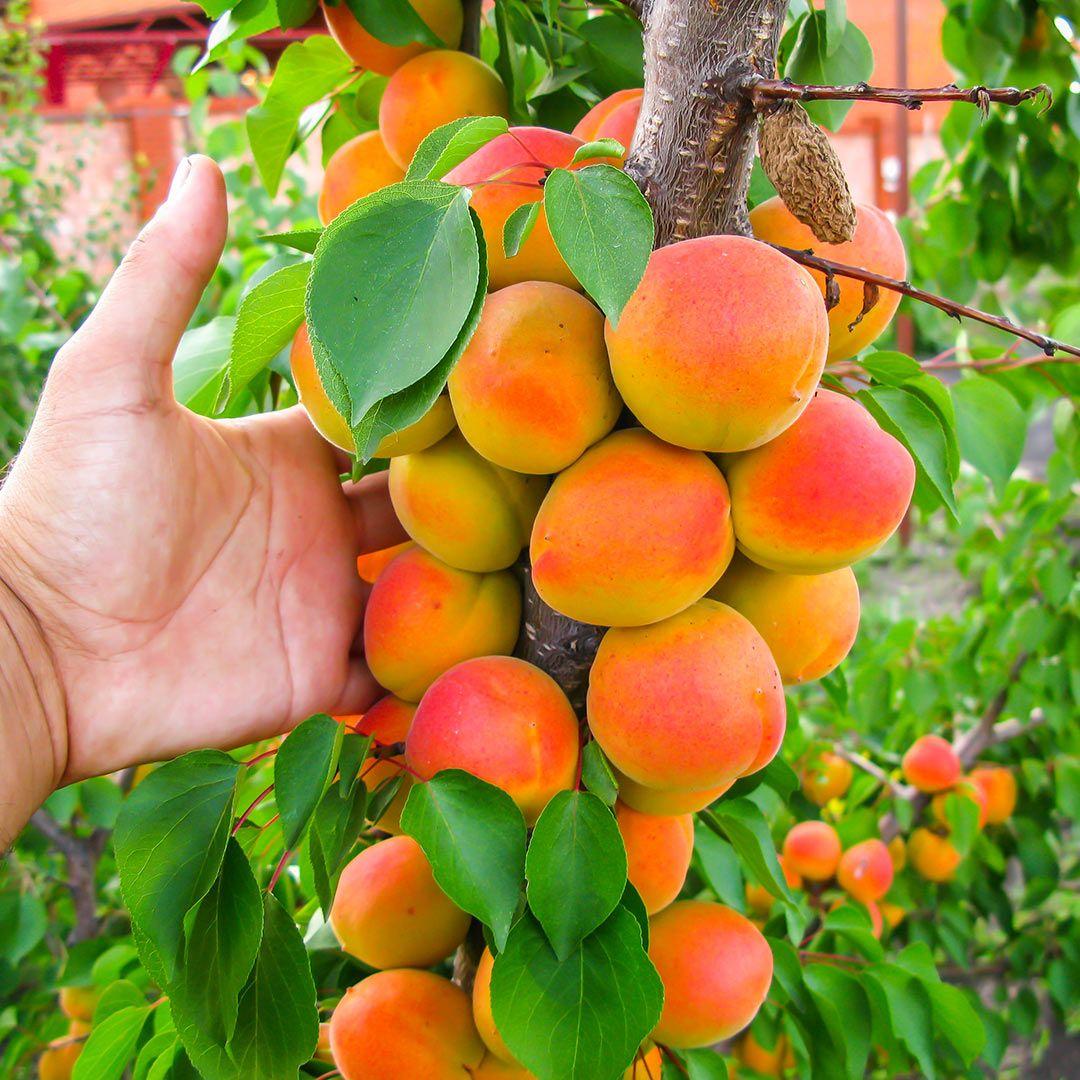 Описание и правила выращивания 15 лучших сортов абрикоса для подмосковья