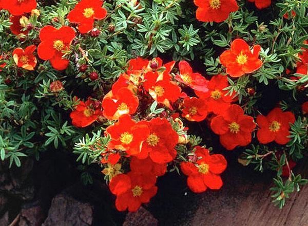 Лапчатка кустарниковая уход и выращивание посадка лапчатка кустарниковая сорта