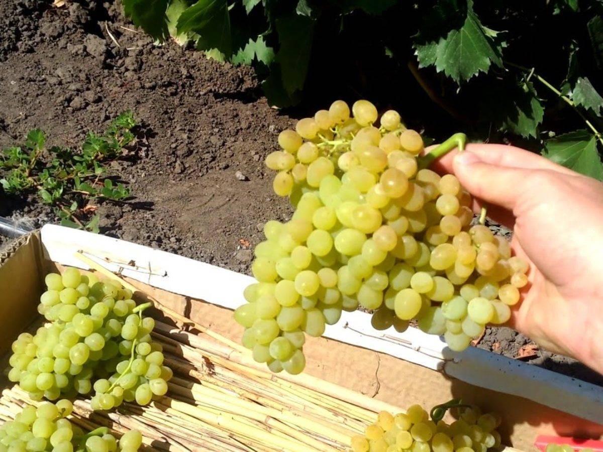 Виноград юпитер: описание сорта, фото, отзывы, видео