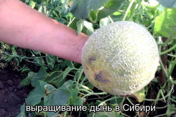 Сорта дыни для сибири и агротехника выращивания