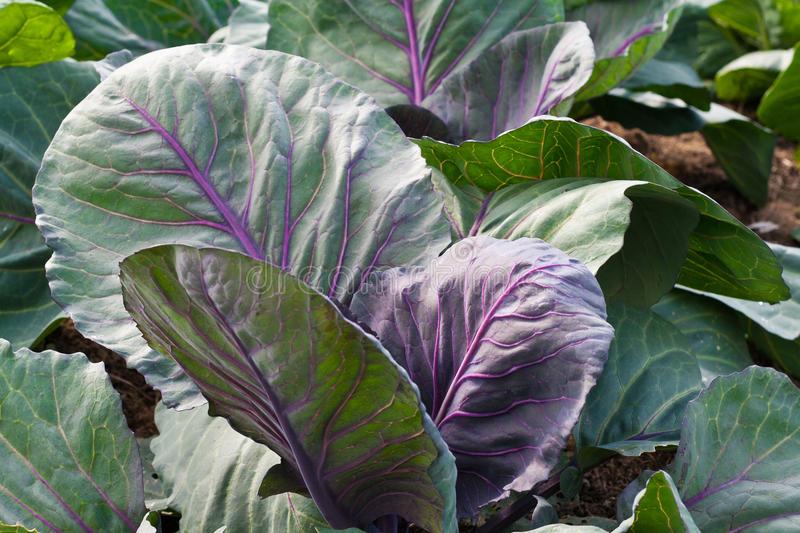 """Почему у капусты листья стали фиолетовые и что делать? - журнал """"совхозик"""""""
