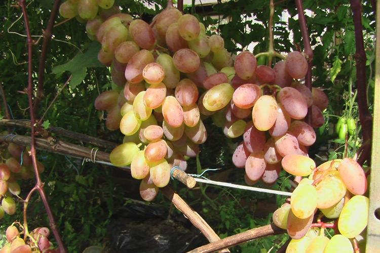 Всё о сорте винограда «юбилей новочеркасска» от особенностей посадки до фото и отзывов о нём