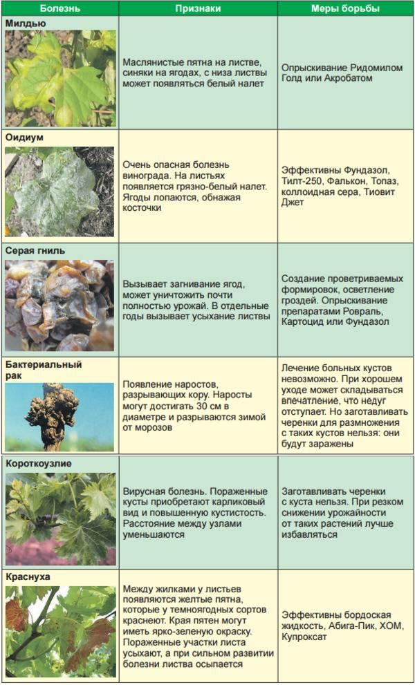 Болезни винограда. методы их лечения и профилактика