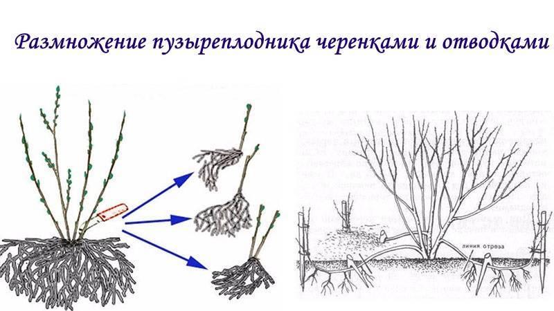 Заготовка и укоренение черенков как эффективный способ размножения кустов барбариса