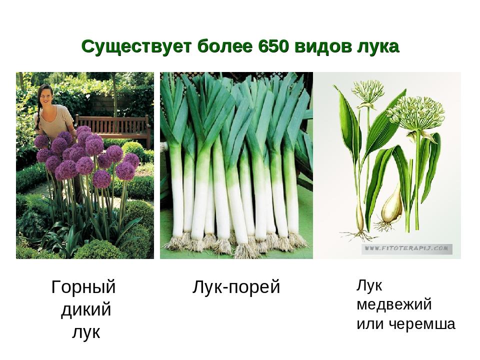 10 съедобных видов лука, которые можно и нужно выращивать у себя на огороде на supersadovnik.ru