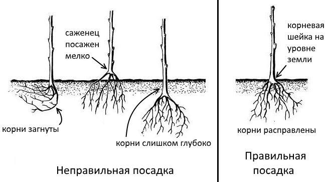 Размножение груши: как вырастить грушу из черенка, ветки, отводка