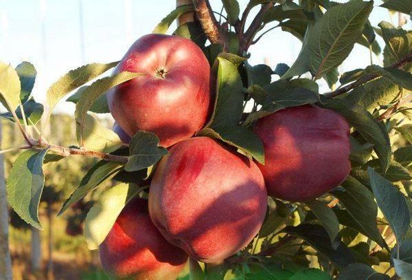 Описание и характеристики яблок сорта ред чиф, выращивание и уход - всё про сады