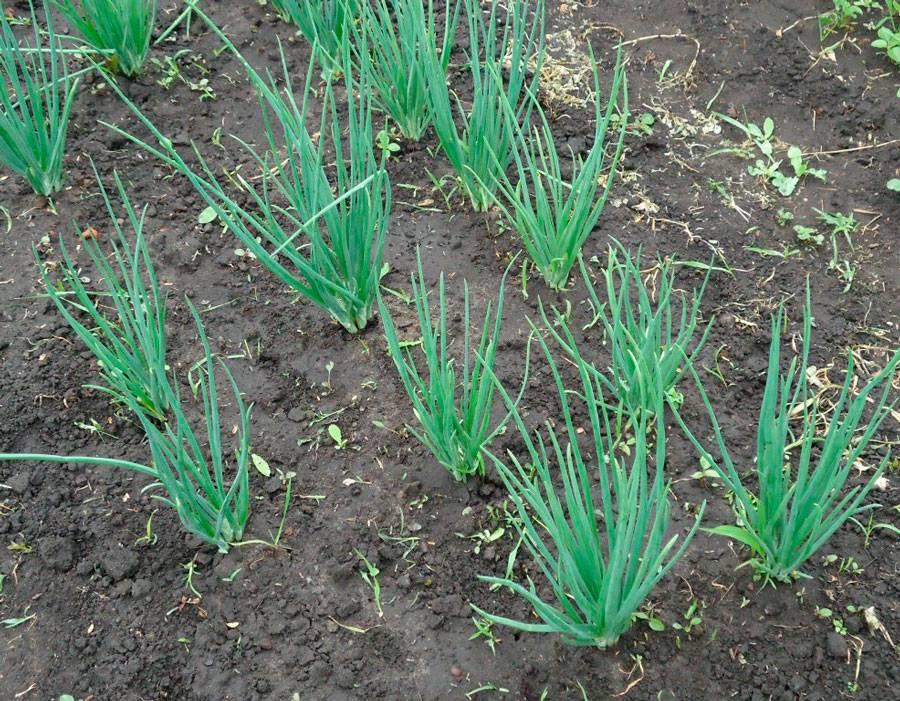 Посадка лука батуна весной семенами в открытый грунт и выращивание пошагово с видео
