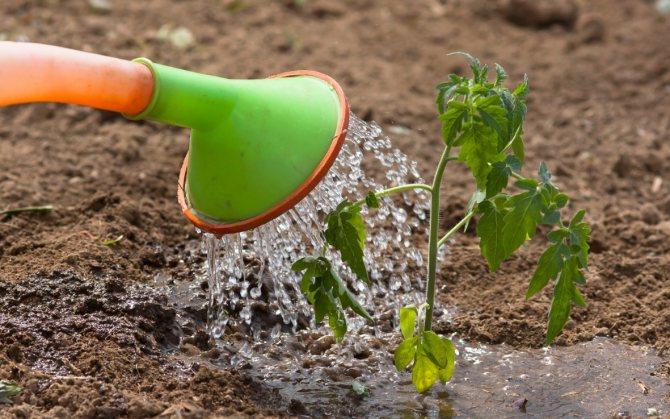 Полив тыквы в открытом грунте — как часто поливать?