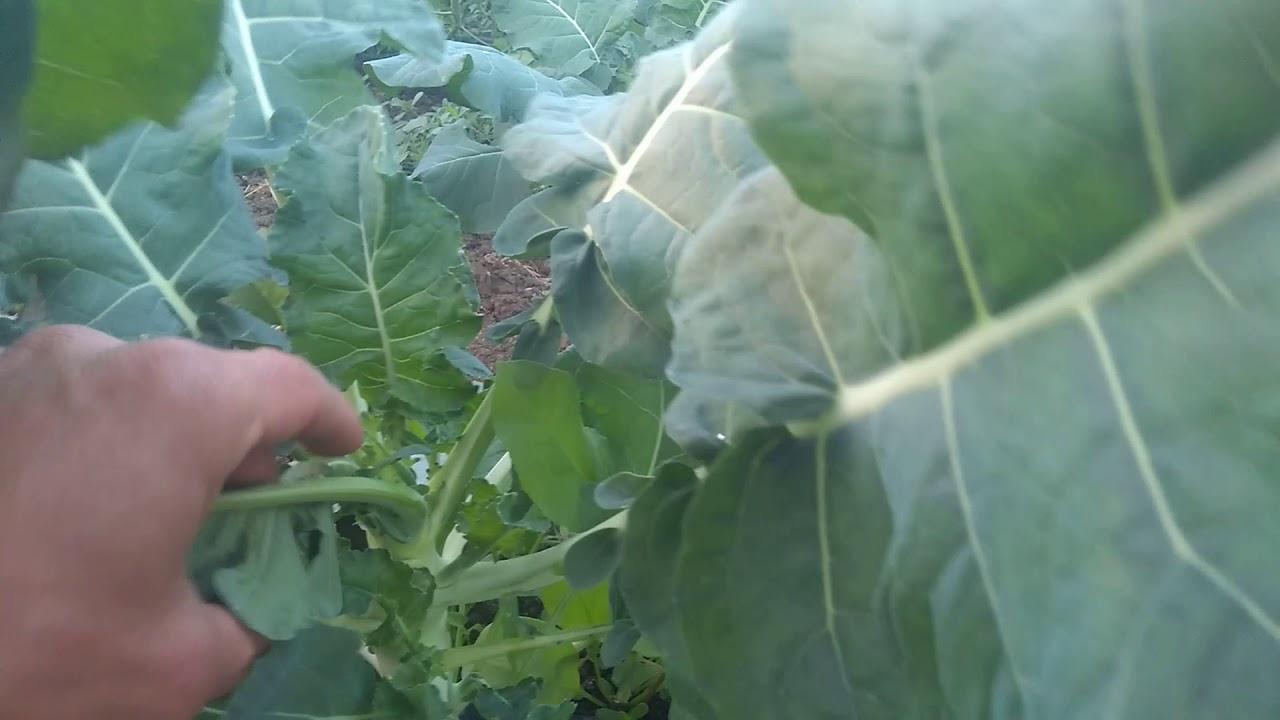 Пошаговая инструкция выращивания капусты брокколи на огороде